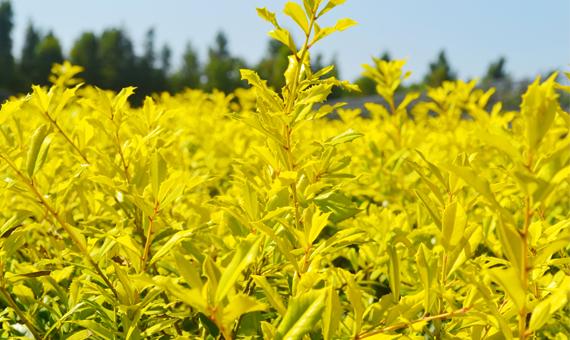 日日新黄金枸骨:只要一米阳光 就有四季金黄