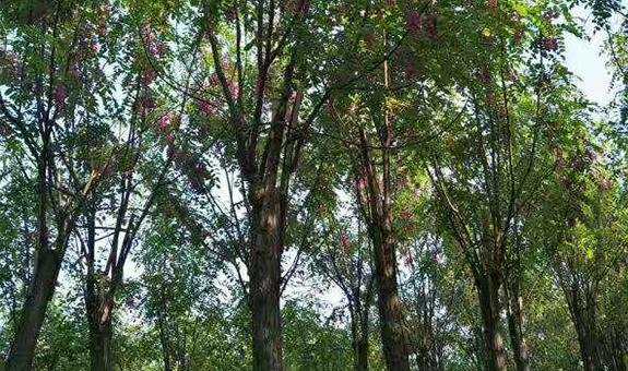 把香花槐做成永不落幕的树种