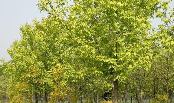 冀中地区金叶复叶槭市场现状及前景分析
