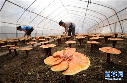 贵州丹寨:特色产业助力精准脱贫