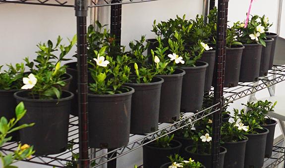 新品种从绿化苗木向家庭园艺的转变