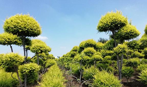 绿水青山与苗木产业发展 ――苗木专家闫大成答记者问