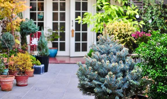 怎么将一株东北蓝杉栽到南方庭院?