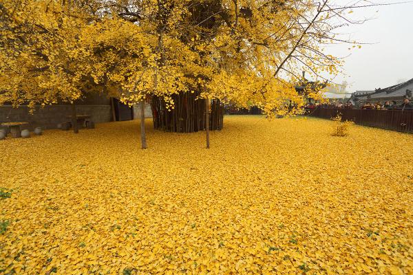 陕西千年古银杏树(图片来源:搜狐旅游)