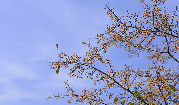 【果・缤纷】那一树金果满枝头 ――垂丝海棠