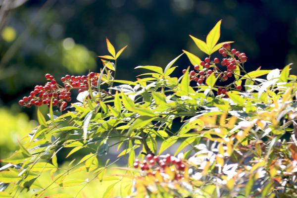 沐浴在温暖的阳光下,南天竹红红的果实是如此可爱 【南天竹小知识】 南天竹,别名南天竺、红杷子、天烛子、红枸子等,毛茛目、小檗科、南天竹属常绿小灌木,是我国南方常见的木本花卉种类。常见栽培变种有:玉果南天竹,浆果成熟时为白色;绵丝南天竹,叶色细如丝;紫果南天竹,果实成熟时呈淡紫色;圆叶南天竹,叶圆形,且有光泽。