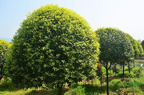 壁纸 成片种植 风景 树 植物 种植基地 桌面 600_397