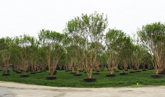 同时与万科、龙湖等十余家知名地产商合作的苗圃