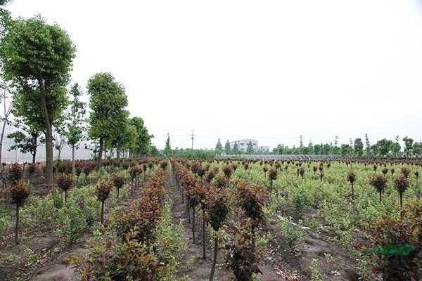 杭州园林等苗木生产基地考察,发现他们已经把这样的功能搬进苗圃,花木