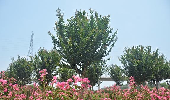 """从""""速生紫薇""""看树种选择"""