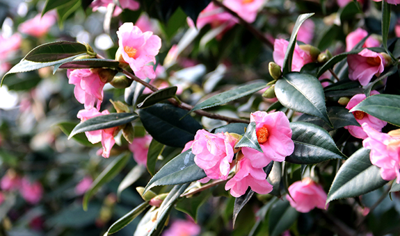 冬日里的粉色嫣然――美人茶