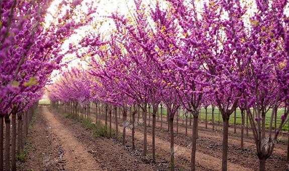 什么是 '四季春1号' 紫荆树?
