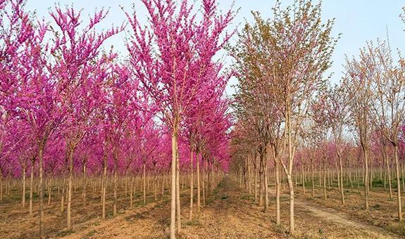 北京的'四季春1号'紫荆树
