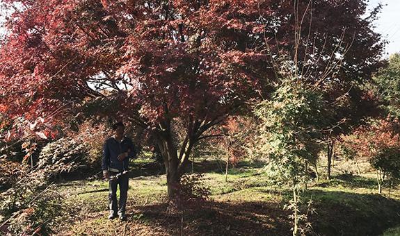 鸡爪槭――卖的越好,越出极致!