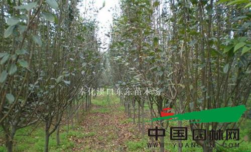奉化溪口东东苗木场海棠基地