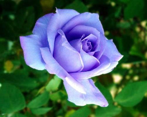北京 月季冒充玫瑰 商贩被查处