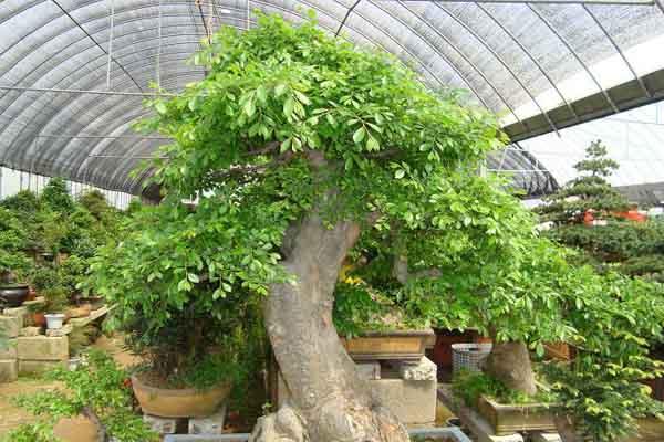 榔榆盆景图片