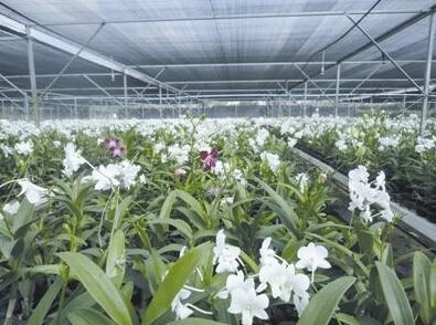 兰花施用有机肥的技术