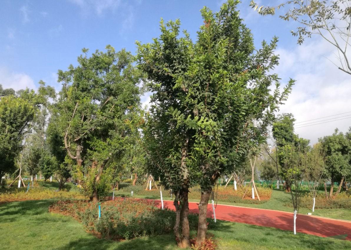 通海县将百年清香木古树变废为宝 安营扎寨清香园为杞麓湖添新绿