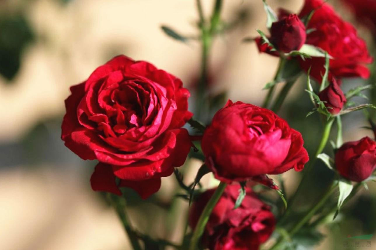 云农花卉所三个庭院月季新品种获授权