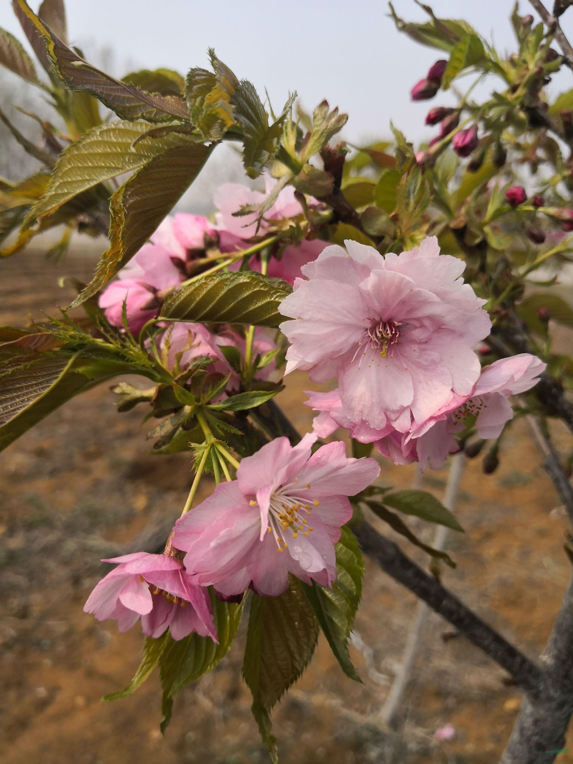我国首个杂交培育的樱花新品种'名贵红'获授权
