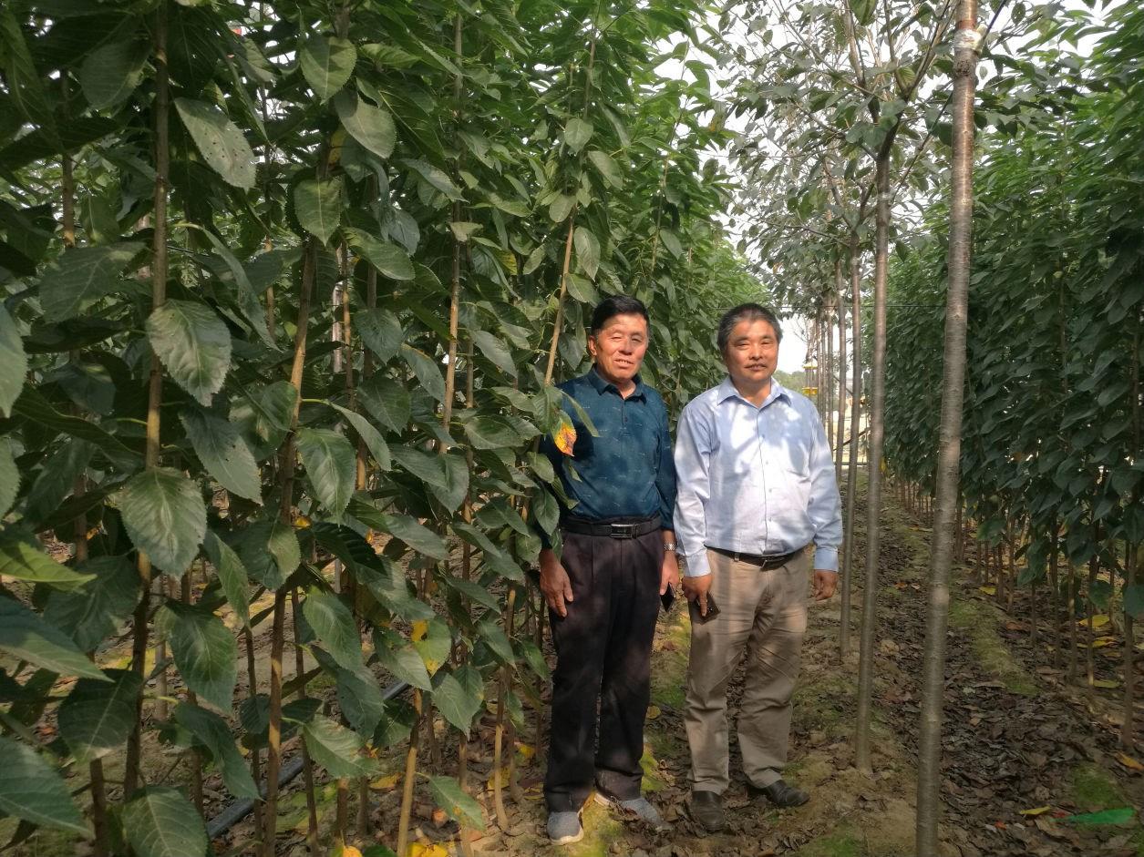 山东樱花产业发展欣欣向荣 优质高端苗木产品领先全国