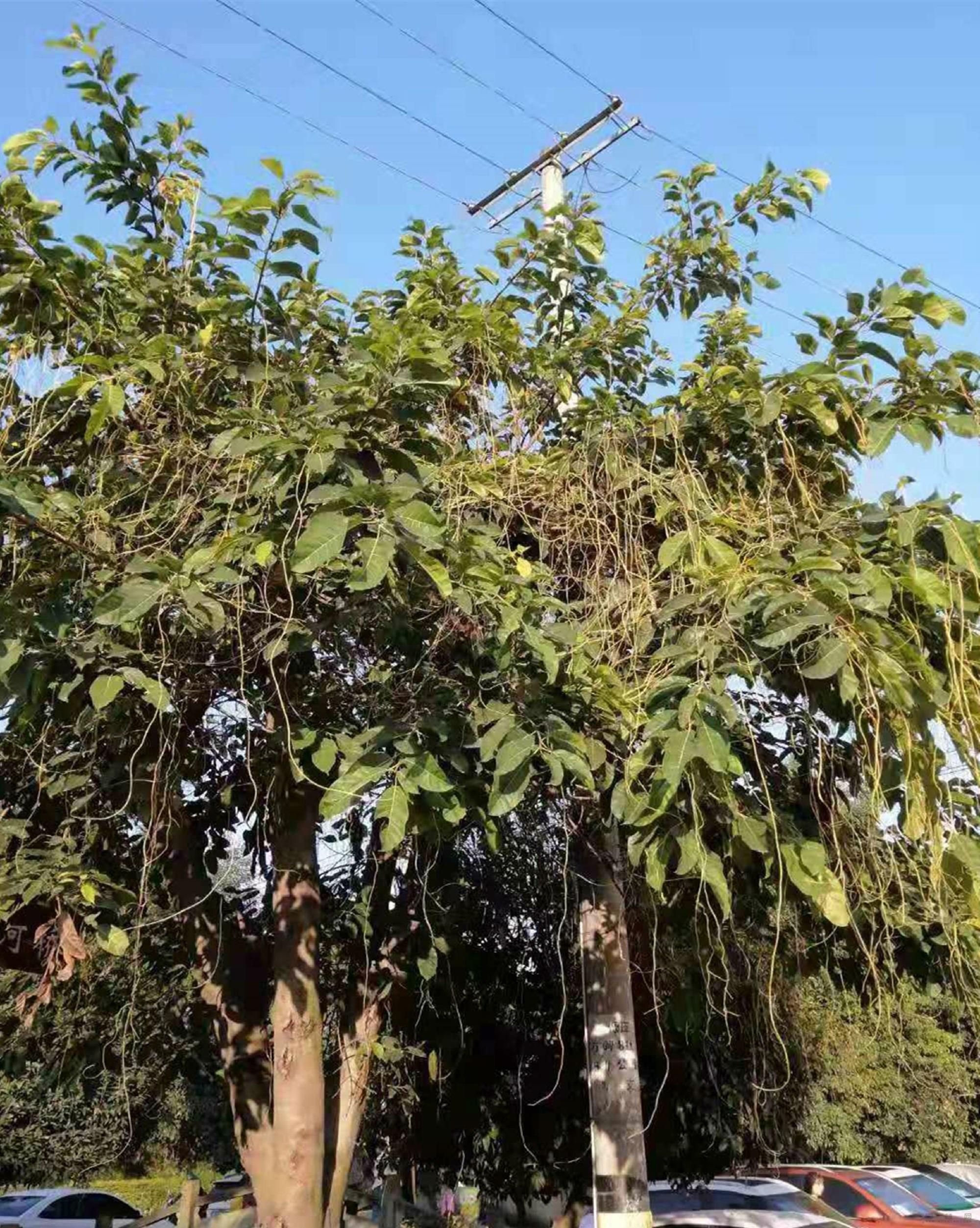 """植物""""吸血鬼""""菟丝子入侵成都园林植物"""