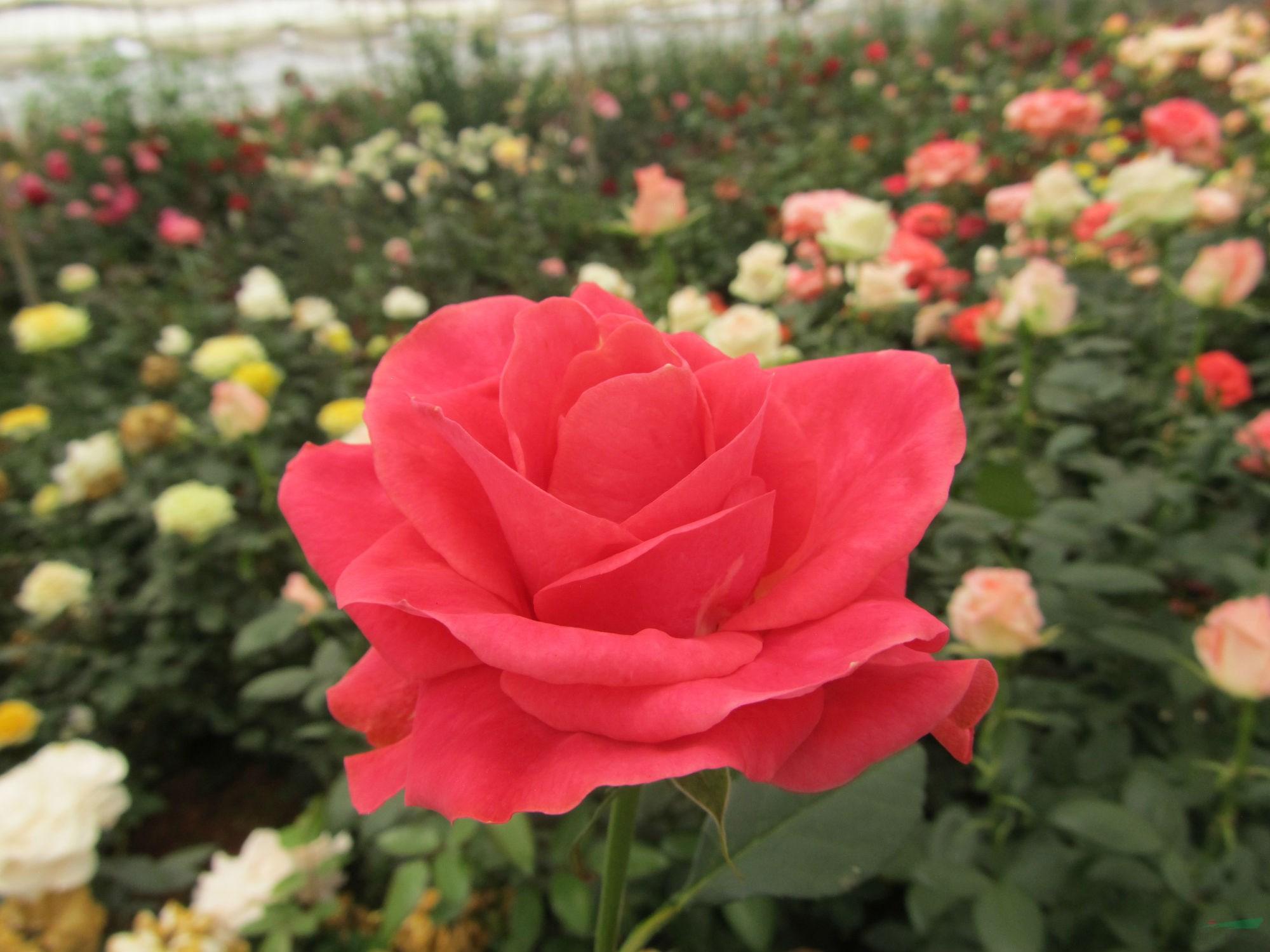滇花企三个切花月季新品种获授权