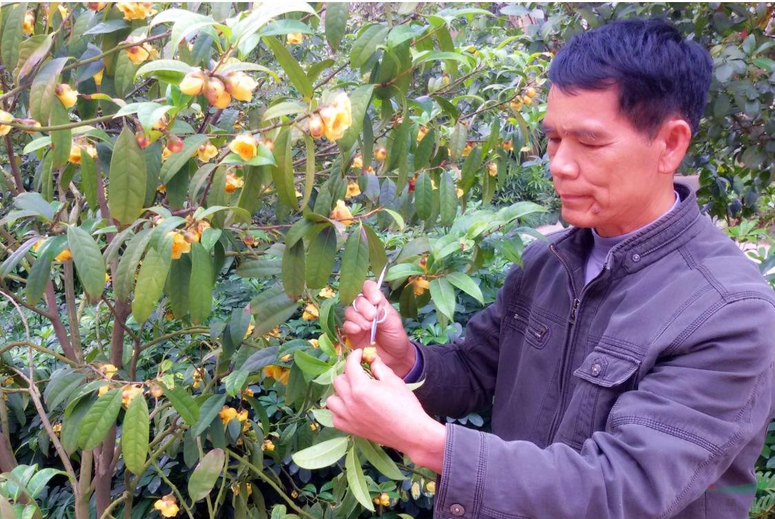 南宁市即将举办第九届茶花文化展