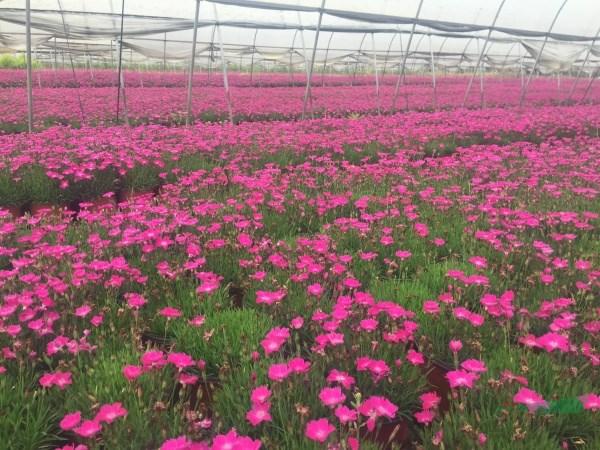 疫情影响  规模扩大 花境植物市场不容乐观