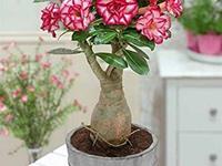 厦门市园林植物园获沙漠玫瑰属国际栽培品种登录权威殊荣