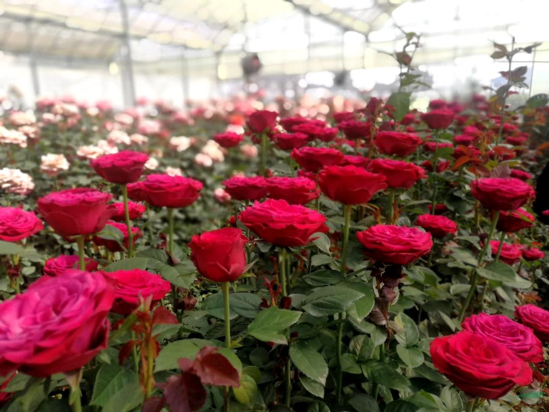 花市关停遏制新型冠状病毒蔓延  今年情人节鲜切花市场不容乐观