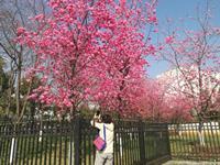 疫情散去春天来  昆明樱花美如画
