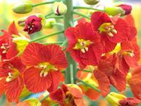 江西农大育成38个彩色油菜新品种  为乡村花卉旅游新添炫丽色彩
