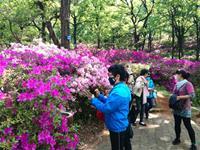 春城昆明:300亩五彩杜鹃激情绽放  游客防疫赏花井然有序