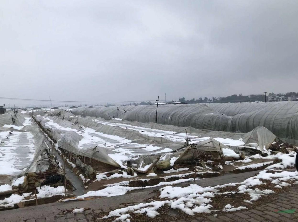 雪灾+疫情致云花遭遇重创 预估一季度损失超过百亿