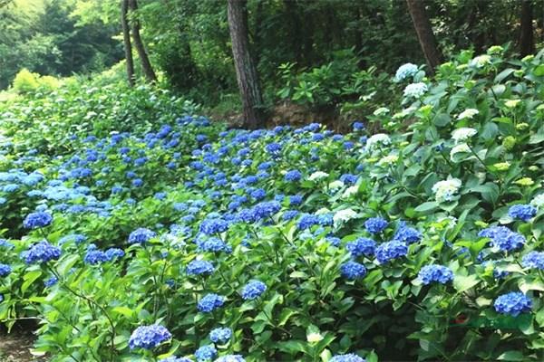 安徽六安郁花园 两百种绣球花激情绽放