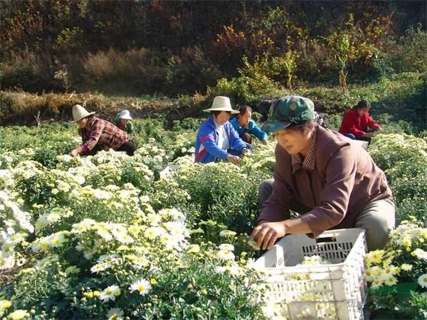 国内首个茶菊新品种获授权 品种技术成果推广成绩斐然