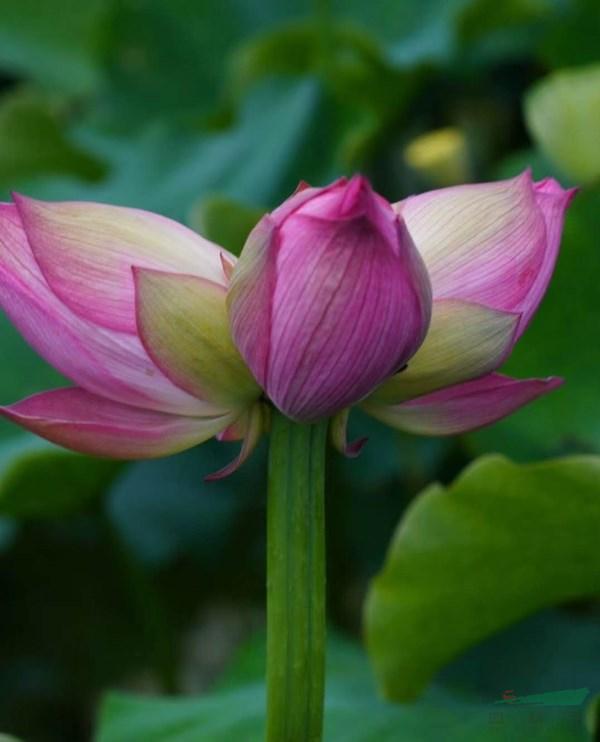 云南丽江惊现罕见三蒂莲  游客蜂拥而至赏花忙