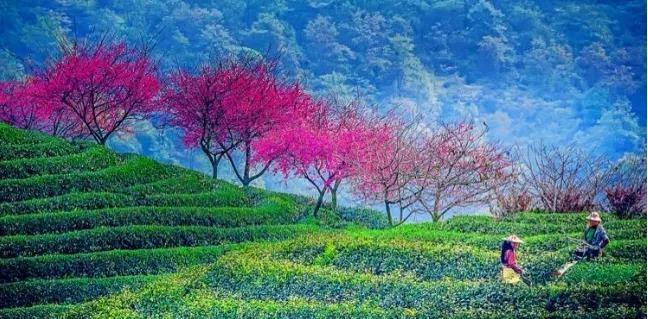 """探索福建园林2:""""醉美""""樱花园和花卉集散中心的打造之路"""