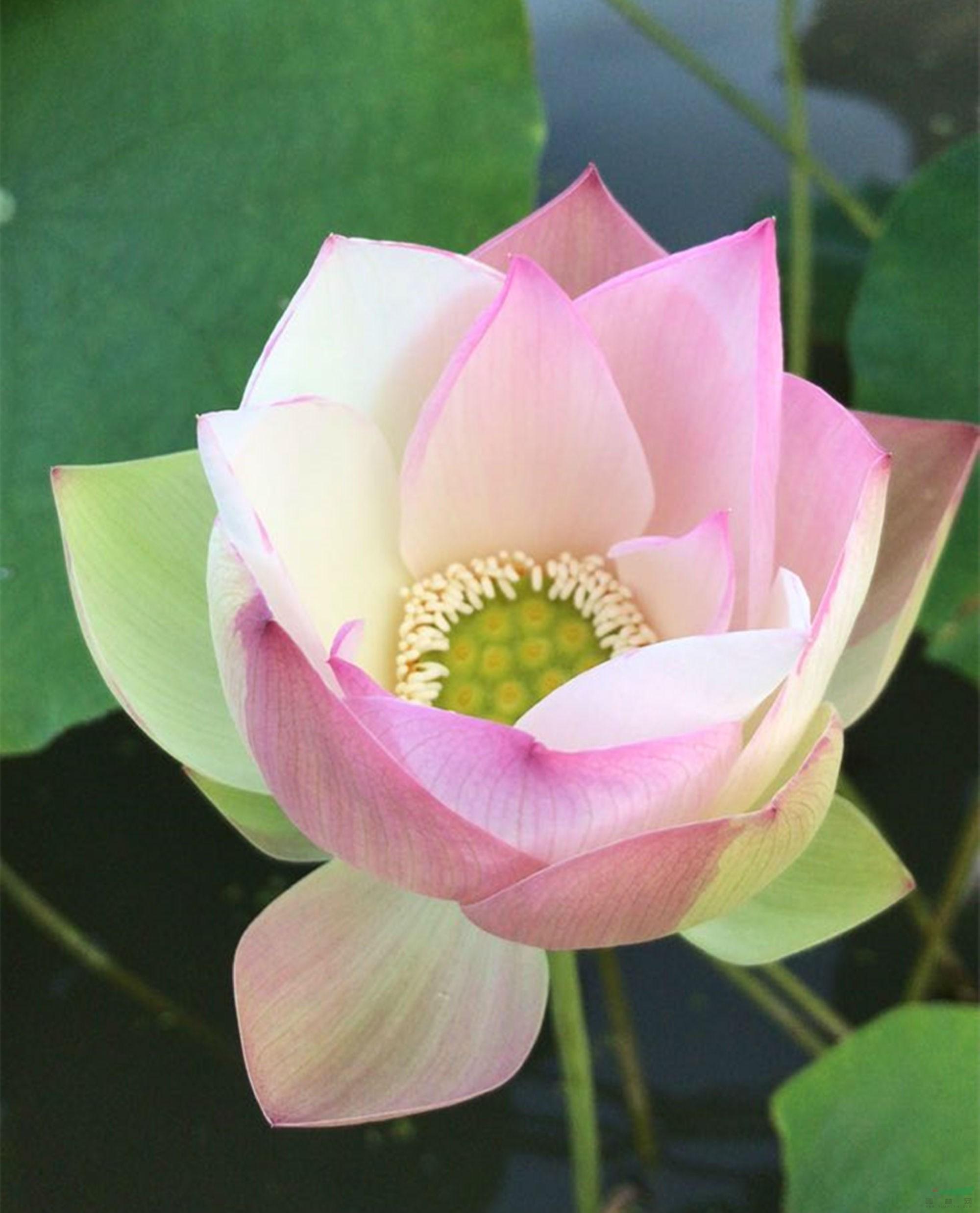 世界首个中型斑莲荷花品种有望在南京诞生