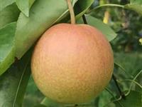 2200万元转让一个梨品种,三亚崖州湾特区首单植物新品种权交易签约