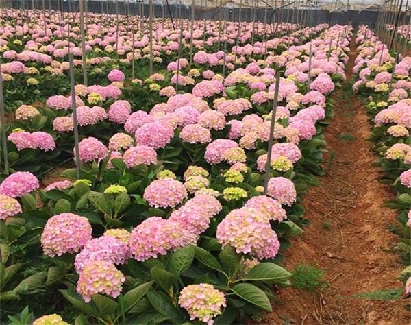 我国花卉发展目标:由世界花卉大国向强国转变