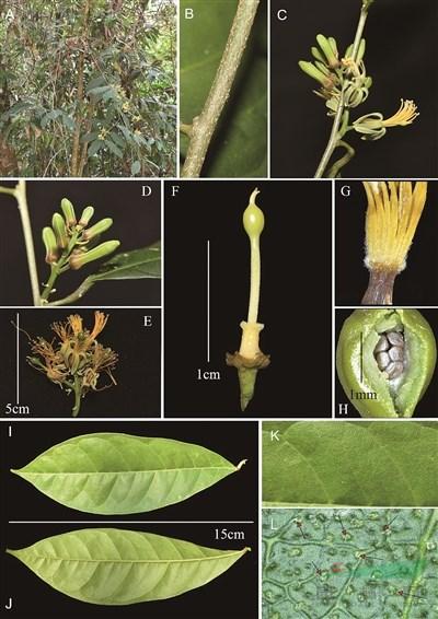 云南德宏州发现斑果藤属新种