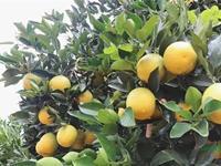 云南新平高原王子冰糖橙开采 十六车鲜果首发全国十六城市
