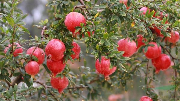 云南水果产业发展成效显著 种植面积和产量突破千万级