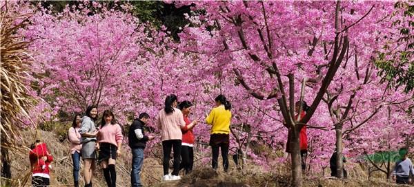 福建世外樱园:花团锦簇闹新春 美轮美奂醉游人