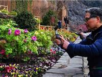 60个洛阳牡丹品种亮相辰山迎春花展 8万游客春节赏花共度美好时光