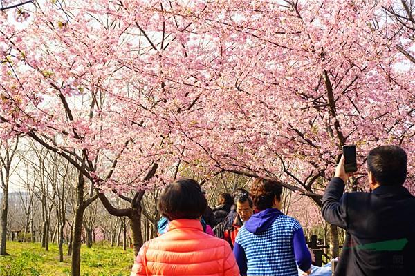 上海顾村公园十年磨一剑:樱花烂漫春满园 美景如画醉游人