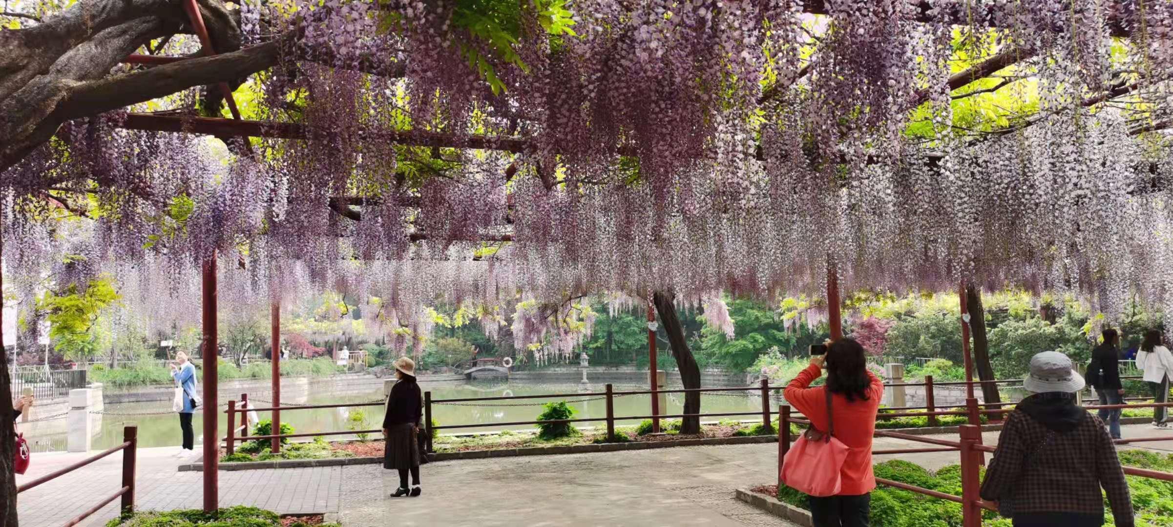上海嘉定紫藤园步入盛花期